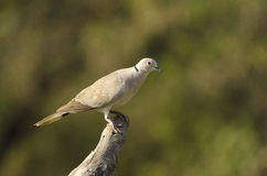 Eurasian Collared-dove. The Eurasian collared dove, most often simply called the collared dove, also sometimes hyphenated as Eurasian collared-dove, is a species Stock Image