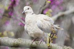 Eurasian collared dove perched on a branch Royalty Free Stock Photo