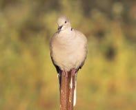 Eurasian Collared Dove Stock Photos