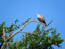 Eurasian Collared dove perched in a tree Stock Images