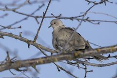 Eurasian dove in the tree royalty free stock images