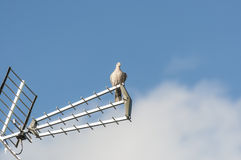Eurasian collared dove Stock Photography