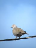 Eurasian Collared Dove perched on wire Stock Photos