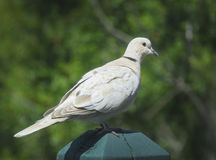 Eurasian Collared-Dove Stock Photography