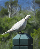 Eurasian Collared-Dove Perches on a Post Stock Image