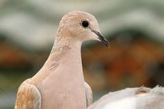Eurasian collared dove portrait Royalty Free Stock Images
