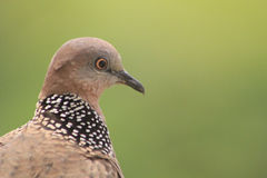 Eurasian collared dove royalty free stock images