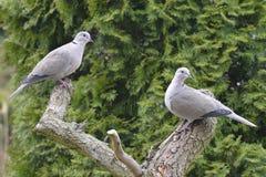 Eurasian Collared Dove Royalty Free Stock Photography