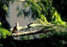 Eurasian collared dove sitting on a tree stump, Streptopelia decaocto stock photo