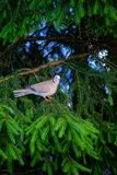 Eurasian collared dove sitting on a tree stump, Streptopelia decaocto royalty free stock photography
