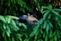 Eurasian collared dove sitting on a tree stump, Streptopelia decaocto stock photography