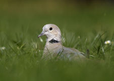 Eurasian Collared Dove (Streptopelia decaocto). Photo of Eurasian Collared Dove royalty free stock image