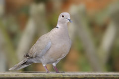 Eurasian Collared Dove (Streptopelia decaocto) Royalty Free Stock Images