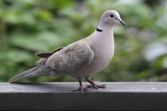 Eurasian Collared-Dove (Streptopelia decaocto). Perched on a fence royalty free stock photos