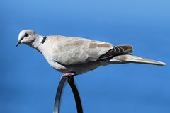 Eurasian Collared-Dove (Streptopelia decaocto) Stock Photos