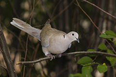 Eurasian collared dove (streptopelia decaocto ) Royalty Free Stock Images