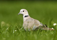 Eurasian Collared Dove (Streptopelia decaocto) Stock Image