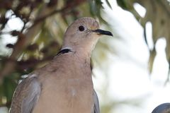 Eurasian collared dove streptopelia decaocto. Close up portrait of a Eurasian collared dove streptopelia decaocto stock images