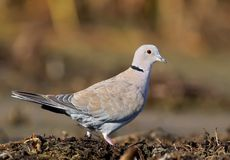 The Eurasian collared dove Streptopelia decaocto. Close up portrait on colorfull blurred background stock image