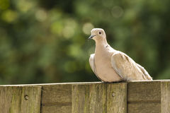 Eurasian collared dove Streptopelia decaocto Royalty Free Stock Photo