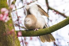 Eurasian collared dove Streptopelia decaocto. Closeup of a Eurasian collared dove Streptopelia decaocto bird, perched in a tree stock photography