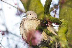 Eurasian collared dove Streptopelia decaocto. Closeup of a Eurasian collared dove Streptopelia decaocto bird, perched in a tree stock image
