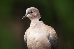 Eurasian Collared Dove, Streptopelia decaocto, detail portrait of garden bird, dark green forest habitat, France Royalty Free Stock Photos