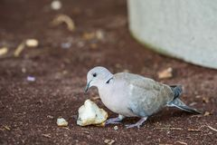 Eurasian Collared Dove, Streptopelia decaocto, eating bread leftovers on the ground. Puerto Rico, Gran Canaria in Spain Royalty Free Stock Photography