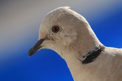 Eurasian collared dove, Streptopelia decaocto on the edge of balcony. royalty free stock photo
