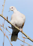 Dove. A elegant Collared Dove perched high on a tree branch in winter Royalty Free Stock Image