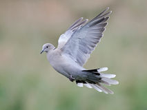 Eurasian collared dove (Streptopelia decaocto). Eurasian collared dove in flight with vegetation in the background Stock Photos