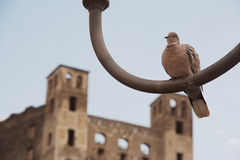 Eurasian collared dove Streptopelia decaocto  on an iron lamp Stock Image