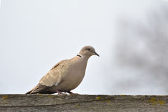 Eurasian Collared-Dove (Streptopelia decaocto). In nature stock photography