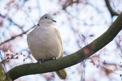 Eurasian collared dove Streptopelia decaocto nesting in a tree. Closeup of a Eurasian collared dove Streptopelia decaocto bird, perched and nesting in a tree stock photography