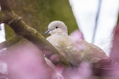 Eurasian collared dove Streptopelia decaocto nesting in a tree. Closeup of a Eurasian collared dove Streptopelia decaocto bird, perched and nesting in a tree stock image