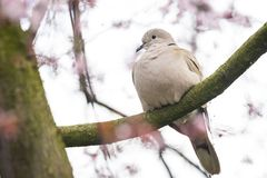 Eurasian collared dove Streptopelia decaocto nesting in a tree. Closeup of a Eurasian collared dove Streptopelia decaocto bird, perched and nesting in a tree stock images