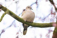 Eurasian collared dove Streptopelia decaocto nesting in a tree. Closeup of a Eurasian collared dove Streptopelia decaocto bird, perched and nesting in a tree royalty free stock images