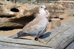 Eurasian Collared Dove Streptopelia decaocto Stock Image