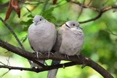 Eurasian collared dove streptopelia decaocto. Portrait of a two Eurasian collared doves streptopelia decaocto perching on a branch royalty free stock photos