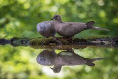 The Eurasian Collared Dove or Streptopelia decaocto is sitting at the waterhole royalty free stock images