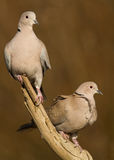 Eurasian Collared Dove (Streptopelia decaocto). Two Eurasian Collared Doves (Streptopelia decaocto) perching on a branch stock photo