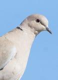 Eurasian Collared Dove - Streptopella decaocto Royalty Free Stock Image