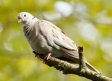 Eurasian Collared Dove - Streptopella decaocto Stock Photo