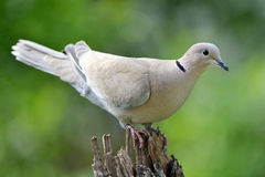 Eurasian Collared Dove. On a tree Royalty Free Stock Photography