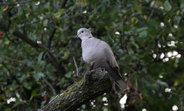 Eurasian collared dove on a tree branch_2 Royalty Free Stock Images