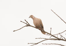 Eurasian Collared Dove up in an Oak tree Stock Images