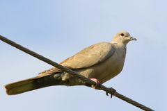 Eurasian Collared Dove on wire Royalty Free Stock Images