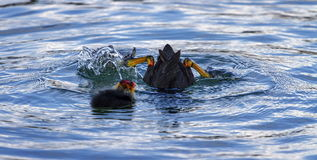 Eurasian or common coot, fulicula atra, diving for Royalty Free Stock Photos