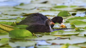 Eurasian or common coot, fulicula atra, duck and duckling Royalty Free Stock Photos