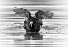 Eurasian or common coot, fulicula atra, duck. Landing on the water royalty free stock image